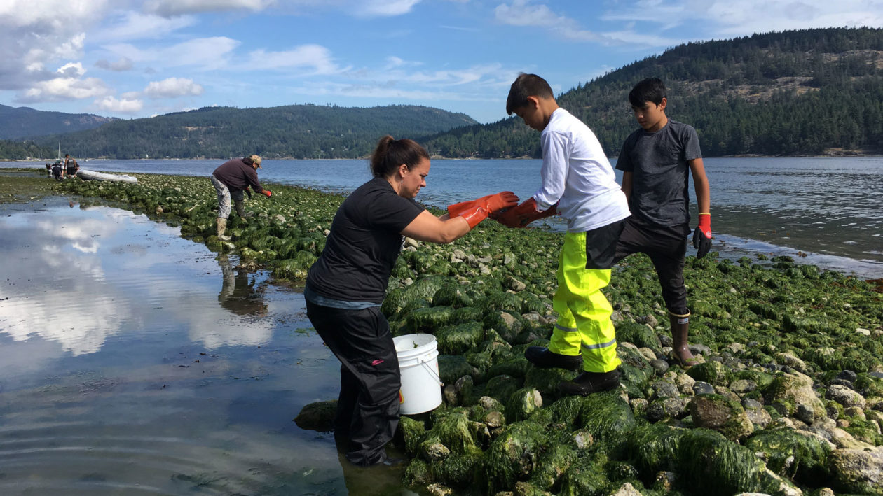 Members of the Swinomish tribe in Washington state prepare a new clam garden.